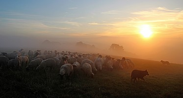 flock-of-sheep-2252296_1920